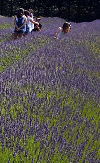 Many farms of lavender