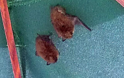 Bats housed in a neighbors colapsed umbrella