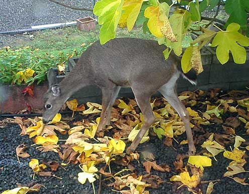 A deer is visiting our fig tree
