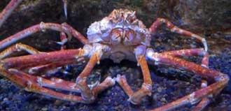 Spider crab posing for a photo