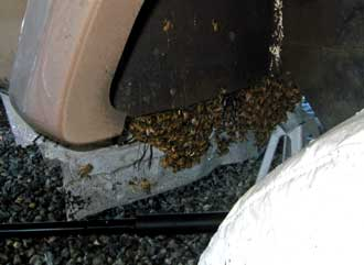 The honey bees have found an ideal location for the new hive