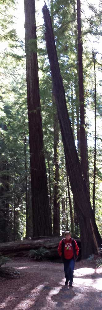 Hiking in the Avenue of the Giants, Behind: Comparing historical events to the age of a redwood.