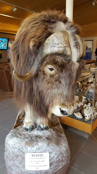 I visited Prince William Sound Community College and found their museum right next door. They had a stuffed Musk Ox.