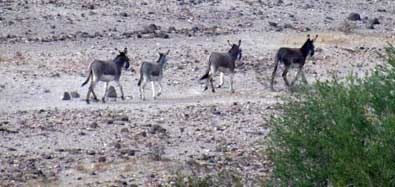 Wild burros out our back window