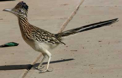 Great photo of a roadrunner