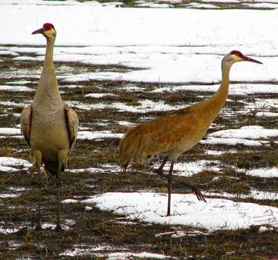 Sandhill Cranes at the northern part of the lake