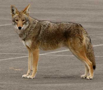 Coyote in the parking lot