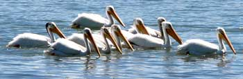 Pelicans visit several times each day