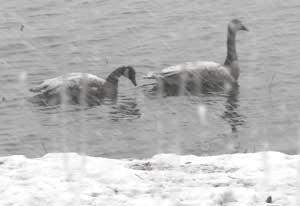 Canada Geese out the back window