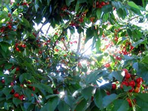 Cherries at the house