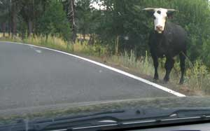 Cow in the road time again