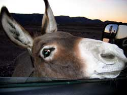 What do burros want as a treat