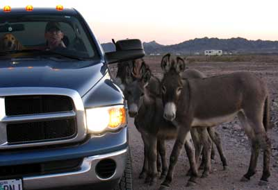 The wild burros come to visit closeup