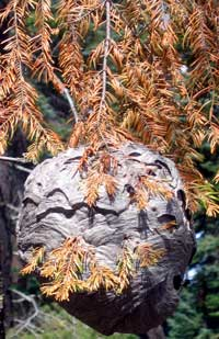 Wasp nest the size of a volleyball